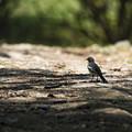 写真: セグロセキレイ(幼鳥)