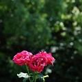 庄内緑地公園のバラ1