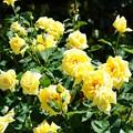 庄内緑地公園のバラ3