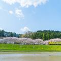 写真: ムーミン列車と桜