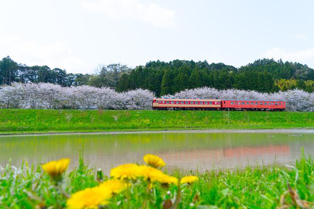 タラコと桜