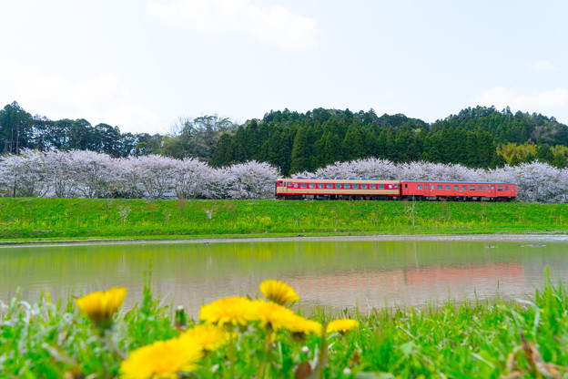 写真: タラコと桜