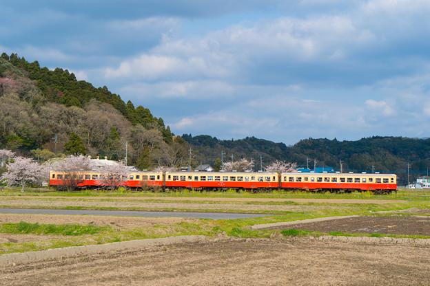 写真: 桜列車