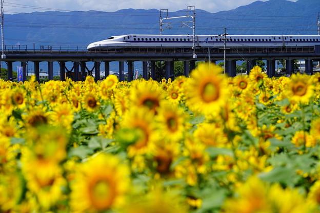 ひまわりと新幹線1