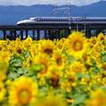 写真: ひまわりと新幹線1