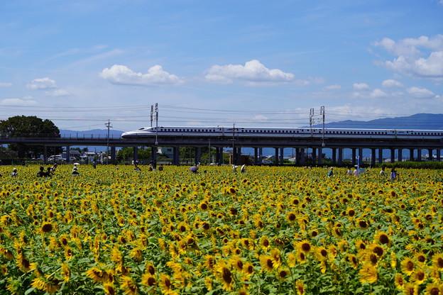 写真: ひまわりと新幹線2