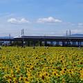 Photos: ひまわりと新幹線2