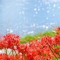 写真: 彼岸花とキラキラ