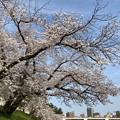 Photos: 乙川桜