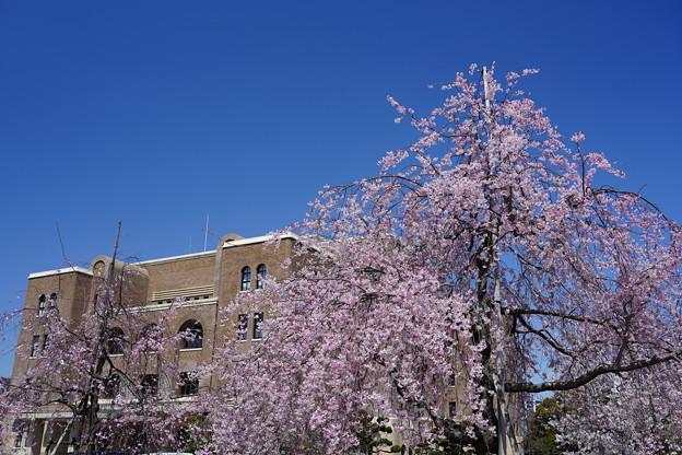 公会堂と桜