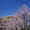 Photos: 公会堂と桜