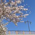 Photos: 桜と橋