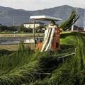 Photos: い草刈りA