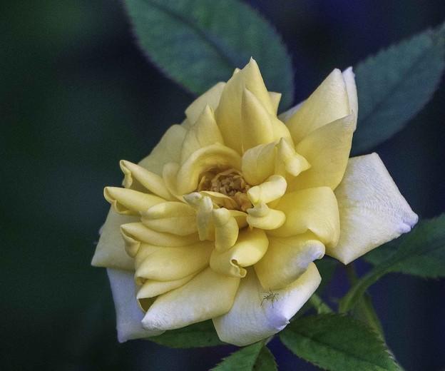 ど根性薔薇?