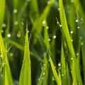 稲のオシッコ