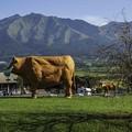 Photos: 肥後の赤牛もコロナ対策