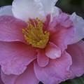 紅白山茶花