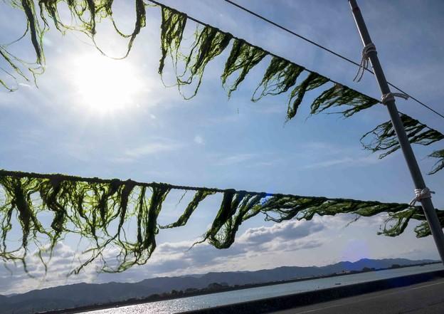 Photos: 青海苔天日干し