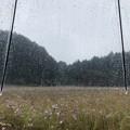 Photos: 雨のコスモス畑