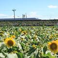 N700系×大垣ひまわり畑