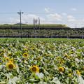 写真: 700系ドクターイエロー×大垣ひまわり畑