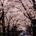 Photos: 真原桜並木