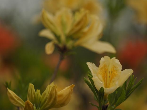 日暮れどきの黄レンゲ