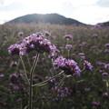 写真: 山麓に咲く