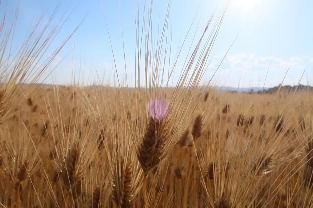 Photos: 実る麦畑