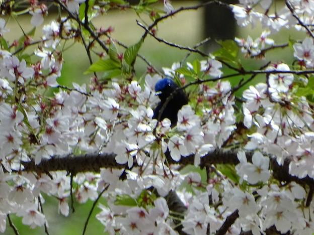 写真: 春風に・・・