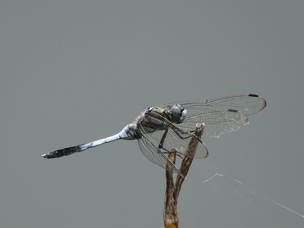 写真: 蜻蛉 撮り・・・