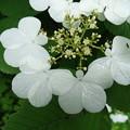 写真: 白い蝶のサンバ