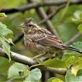 写真: 幼鳥