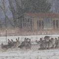 写真: 吹雪 ふぶき フブキ・・・