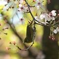 Photos: 春は まぼろしぃ~