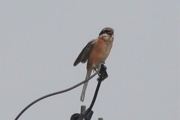 百舌鳥の高鳴き