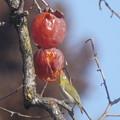 熟れた 柿の実・・・