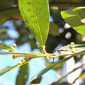写真: 月桂樹
