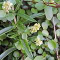 写真: ワイヤープランツの花