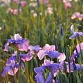夕日と花菖蒲