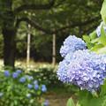 写真: 北山公園の紫陽花
