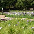 写真: 北山公園の菖蒲まつり
