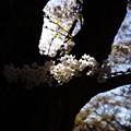 Photos: 光る桜