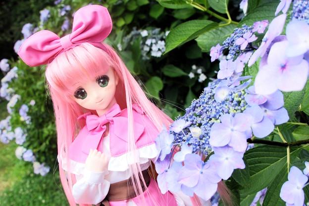 紫陽花とローラ