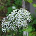 Photos: ニラの花