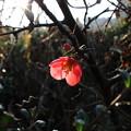 初咲 ボケの花