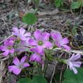 Photos: カタバミの花