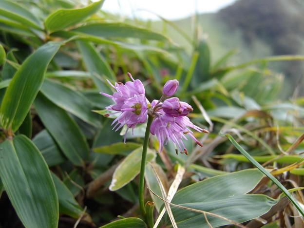 ヤマラッキョウ(天狗塚の花たち)