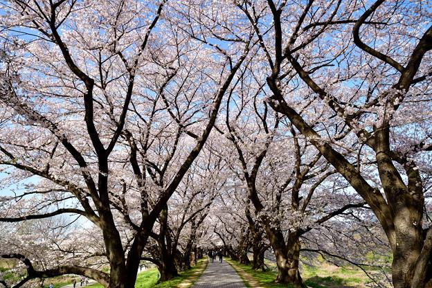 2018_0331_084918 堤の上は桜のトンネル