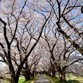 Photos: 2018_0331_084918 堤の上は桜のトンネル